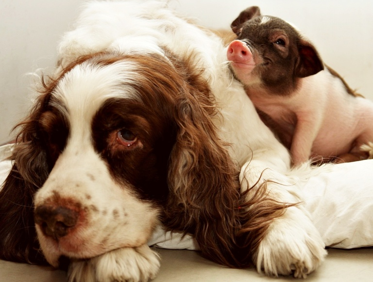 Animals_Various_together_Dog_and_Pig_034293_