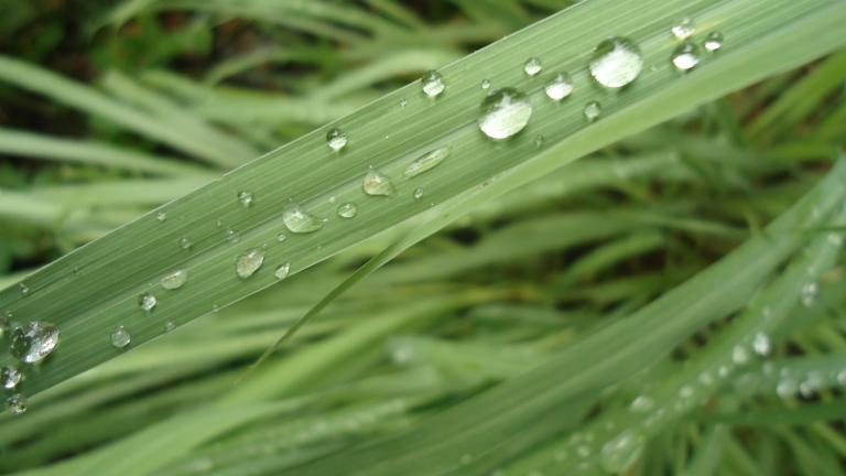 Cymbopogon_citratus_leaves